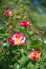 Candy stripe roses (JSB PHOTOGRAPHS) Tags: 8008933 roses owenmemorialrosegarden eugeneoregon nikon candystriperoses