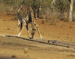 Thirsty Giraffe / kameelperd (Pixi2011) Tags: wildlifeafrica southafrica africa krugernationalpark animals wildanimals