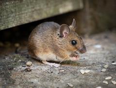 (Mr Aylesbury) Tags: macro wildlife mammal sonya7iii nature closeup sony fe24240mmf3563oss 2019 karlvaughan mouse
