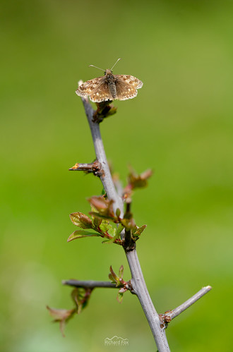 Dingy Skipper |  Erynnis tages