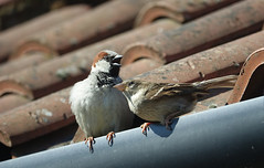 House Sparrow couple (hedgehoggarden1) Tags: housesparrow birds wildlife gardenwildlife nature sonycybershot norfolk eastanglia uk watton sony rspb gardenbirds bird sparrow roof tiles