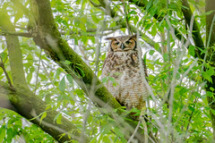 05062019-465-2 (Bill Friggle Photography) Tags: owl greathornedowl great horned