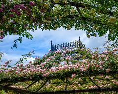 2019 Spring roses (shinichiro*) Tags: 横浜市 神奈川県 日本 20190515dsc6055 2019 crazyshin nikonz6 sigma1770mmf284dcmacrohsm ftz may spring flower yeg 横浜イングリッシュガーデン パーゴラ バラ 33977167738