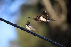 I brought a gift to you... (Nora077) Tags: hirundo rustica swallow golondrina