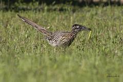 Greater Roadrunner (Stephen J Pollard (Loud Music Lover of Nature)) Tags: geococcyxcalifornianus greaterroadrunner correcaminosmayor correcaminos roadrunner bird ave cuckoo cuco