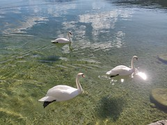 Swans @ Annecy-le-Vieux (*_*) Tags: 2019 europe france hautesavoie 74 annecy annecylevieux winter hiver lake lacdannecy lakeannecy