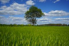 Gerstenfeld (Sascha Klauer) Tags: baum bäume clouds deutschland feld field frühjahr germany gerste gerstenfeld getreide getreidefeld green grün ilce7 landscape landschaft natur nature raps sonya7 sonyalpha7 sonyilce7 thüringen thuringia tree wolken