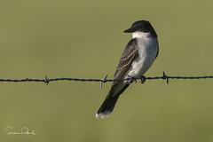 Easterrn Kingbird (Stephen J Pollard (Loud Music Lover of Nature)) Tags: tiranodorsonegro easternkingbird flycatcher mosquero bird ave tyrannustyrannus