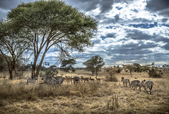 Looking for Shadow. Tarangire National Park. Tanzania (juanjo_rueda) Tags: zebras landscape africa tanzania safari animals wildlife