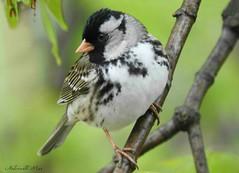 Harris's sparrow (NaturewithMar) Tags: harriss sparrow bird wisconsin nature closeup