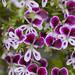Flowers at Ravijoenlahti 131