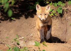 Bala Fox (Gérard & Beth) Tags: balacynwyd fox cub pup kit red ears eyes paws cute adorable fur furry renard zoro pennsylvania vos fuchs volpe cynwydtrail