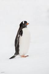 Gentoo penguin (Christian Sanchez Photography) Tags: penguin pinguinos animal africa aves wildanimal wildphoto wildlife wildshake neotropical nature neotropicalbirds nationalgepgraphic n