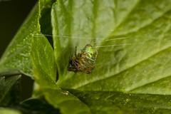 Cucumber Threads (Mark Wasteney) Tags: happywebwednesday hww spider arachnid web threads greens cucumberspider closeup