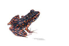 Pulchrana picturata (Matthieu Berroneau) Tags: pulchrana hylarana hylaranasignata frog toad grenouille crapaud amphibien amphibia amphibian sony alpha ff 24x36 macro nature wildlife animal fe 90 f28 g oss fe90f28macrogoss sonya7iii sonya7mk3 sonyalpha7mark3 sonyalpha7iii a7iii 7iii 7mk3 sonyilce7m3 sonyfesonyfe2890macrogoss objectifsony90mmf28macrofe sel90m28g herp herping trip malaysia malaisie borneo bornéo picturata pulchranapicturata spotted stream spottedstreamfrog blanc fond white fondblanc highkey high key hybrid textbook fondo blanco fondoblanco