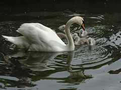 this year's cygnets (Wendy:) Tags: swans cygnets belfield ucd lake odc