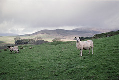 Who are Ewe? (Howie Mudge LRPS BPE1*) Tags: sheep lamb ewe field hill sky overcast nikonf80 kodakportra160 35mm 35mmfilmphotography analog analogphotography film filmphotography filmisnotdead filmrevival filmcamera ishootfilm believeinfilm