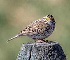 Sparrow on a stick (edmason88) Tags: sparrow fencepost tamron150600 strathconacounty alberta canada