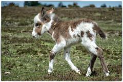 Velvety Donkette (20/52) (Missy2004) Tags: nikkorafs18140mmf3556gedvr newforest donkette donkey 119picturesin2019 111119 velvet 52weeksnotfordogs