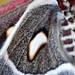 Cecropia Moth Wing Detail No 2