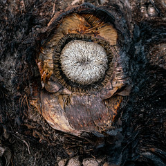 1905 Agave Brain (c.miles) Tags: butrofire coronadonationalforest guthriemountain santacatalinamountains