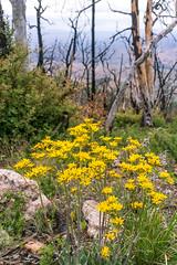 1905 Flowers growing in the Burro Fire Burn Area (c.miles) Tags: burrofire coronadonationalforest flowers guthriemountain santacatalinamountains