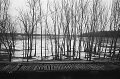 Ice Trees (Adam Chin) Tags: zeissikon zeissdistagon35mm14 kodaktrix bw trees ice rodinal