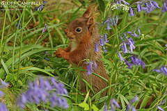 Red Squirrel in the Bluebells (gcampbellphoto) Tags: woodland nature wildlife gcampbellphoto mammal spring animal outdoor red squirrel wood tree grass antrim northern ireland sciurus vulgaris biodiversity bluebell flower