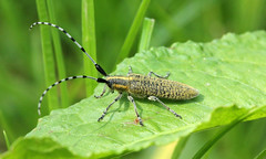 Agapanthia villosoviridescens (jon. moore) Tags: buckinghamshire coleoptera cerambycidae goldenbloomedgreylonghorn agapanthiavillosoviridescens langleyparkcountrypark