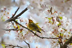 Cape May Warbler In Cherry Blossoms .... High Park, Toronto, Ontario, Canada (Greg's Southern Ontario (catching Up Slowly)) Tags: birdphotography naturephotography highpark capemaywarbler malecapemaywarbler warblerincherryblossoms cherryblossoms sakuracherryblossoms torontoist nikond3200