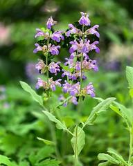 Flowering Sage (Chris Denny/dennyc69) Tags: landscape adobetexture floral flowering sage portraitmode shotoniphone