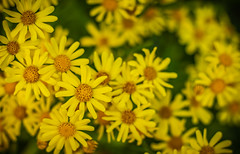 Yellow ... 👆🌼 (Julie Greg) Tags: yellow flower flowers colours canon nature nautre park spring2019 spring soft