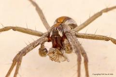 Spider and prey (DirkVandeVelde ( very busy)) Tags: europa europ europe greece griekenland geleedpotigen sony spider spin animalia animal araigne arachnida insekt insects insect insekten dieren fauna macro