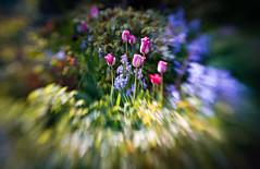 My garden (judy dean) Tags: judydean 2019 garden lensbaby tulips flowers spring