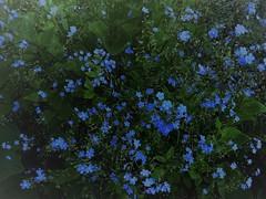 Vergißmeinnicht (Hannelore_B) Tags: blumen flowers blau blue vergismeinnicht forgetmenot