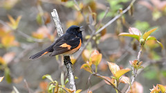 American Redstart (Dinusaur) Tags: bird animal americanredstart