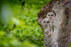 Double Trouble... {Explored} (DTT67) Tags: owlets chicks barredowlets barredowls owls 14xtciii 500mmii 1dxmkii canon1dxmkii canon woodlands forest nest birdsofprey raptors birds wildlife nature