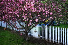 (placeinsun) Tags: vermont middlebury spring flowering trees fences flash