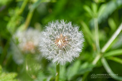Nature Walk in Cassiobury Nature Reserve (alalchan) Tags: cassioburypark naturereserve spring2019 watford dandilion flowerseed