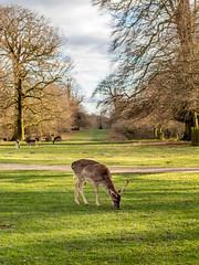 Deer, Dunham Massey (Matthew_Hartley) Tags: deer dunhammassey hall trafford altrincham greatermanchester northwest england uk britain canon eos m3 efm 1545mm