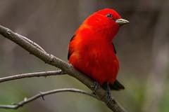 Another scarlet tananger (Gaby Swanson, Photographer) Tags: birds bird wildlife wildlifephotography nature naturephotographer naturephotography mageemarshwildlifearea mageemarshwildliferefuge redbirds scarlettananger