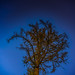Gnarled Old Conifer Against the Stars