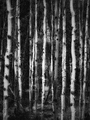 The straight and narrow can be black and white (Edna Winti) Tags: potw2019 2052 forest ednawinti alberta canmore aspens trees