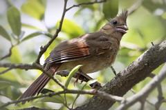 female northern cardinal (austindca) Tags: bird northerncardinal