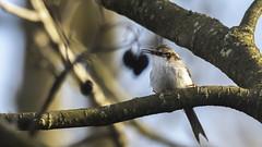 Singing treecreeper... (- A N D R E W -) Tags: bird treecreeper march spring primavera branch nature bokeh calling singing dof depth sky blue sun tree