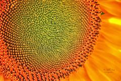 (123/19) Yellow (Pablo Arias) Tags: pabloarias photoshop ps capturenxd españa photomatix flor amarillo girasol alcorcón cuenca