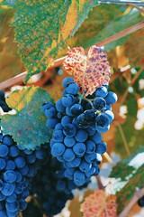 Grapes (andieharsany) Tags: grapes vineyard plant fruit nature winery martinranch california sanjose