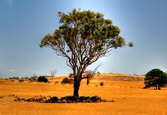 South Australia (Bloody Nick) Tags: sky tree canon ilovenature honeymoon australia 2008 southaustralia soe hdr naturalmente platinumphoto flickrchallengegroup theunforgettablepictures daarklands