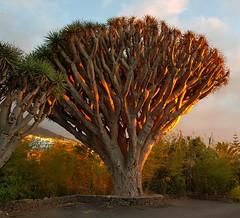 Drago Ardiendo (chuma23m) Tags: plantas arbol drago puestasol panoramica