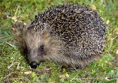 AY 146 (cadayf) Tags: 33 gironde animal hérisson hedgehog jardin garden nature